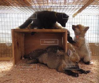 狐の赤ちゃんの写真・画像素材[2473257]