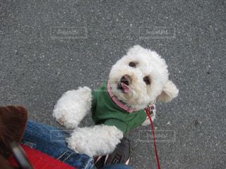 お散歩中、抱っこをせがむトイプードルの写真・画像素材[2637112]