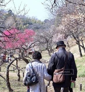 観梅を楽しむ老夫婦の写真・画像素材[2715052]