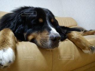 犬の写真・画像素材[89052]