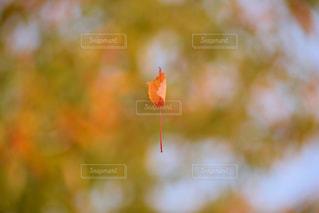 落ち葉が落ちるまでの写真・画像素材[2259236]