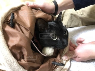 恥ずかしがり屋の黒猫の写真・画像素材[2266962]