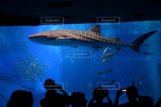 優雅に泳ぐジンベイザメの写真・画像素材[2267977]