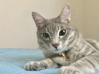 横になってカメラを見ている猫の写真・画像素材[2307096]