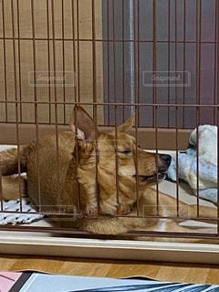 すねる愛犬の写真・画像素材[2951271]