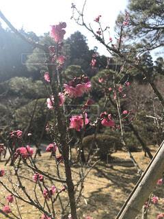 木の上のピンクの花のグループの写真・画像素材[4159466]
