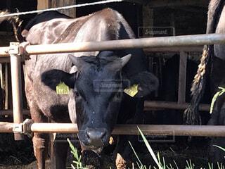 ワイヤーフェンスの隣に立っている牛の写真・画像素材[4688879]