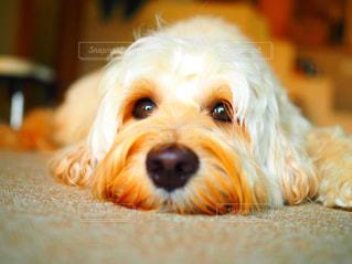 まっすぐ見つめる犬の写真・画像素材[2805054]