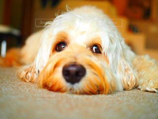 寂しそうな犬の写真・画像素材[2805067]