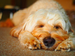 お昼寝中の犬の写真・画像素材[2805070]