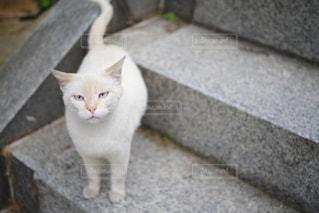 階段からこちらを見上げる白猫の写真・画像素材[2266547]