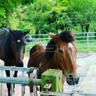 フェンスの隣に立っている茶色の馬の写真・画像素材[3215848]