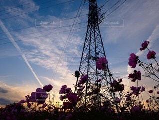 夕暮れの秋桜の写真・画像素材[2258304]