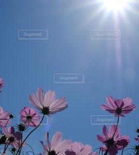 青空とコスモスの写真・画像素材[2258305]