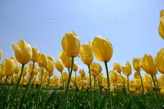 黄色のチューリップの写真・画像素材[2264179]