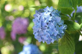 紫陽花の写真・画像素材[2259843]