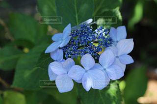 紫陽花の写真・画像素材[2260875]