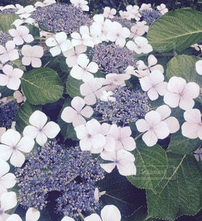 紫陽花の写真・画像素材[88982]