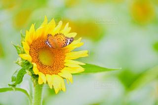 夏のひまわりの写真・画像素材[2416072]