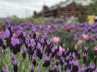 紫色の花のクローズアップの写真・画像素材[2259441]