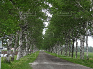 白樺の並木道の写真・画像素材[2269742]