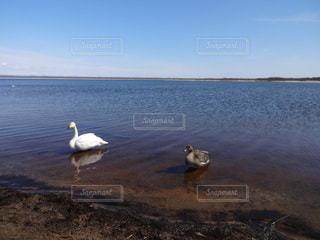 白鳥のカップルの写真・画像素材[2269973]