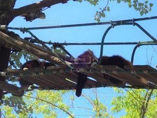 昼寝中のレッサーパンダの写真・画像素材[2285556]