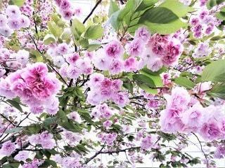桜の写真・画像素材[3134088]