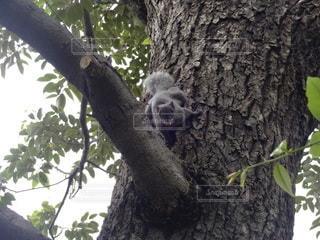 木の枝にぶら下がっているリスの写真・画像素材[3393374]