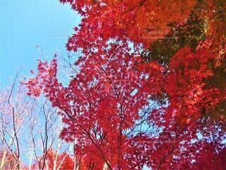 紅葉の写真・画像素材[3929825]