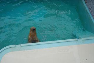 水のプールで泳ぐヒグマの写真・画像素材[864908]