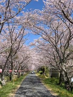 桜並木を歩いてみるの写真・画像素材[2260559]