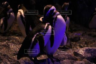 暗闇の中に立つペンギンの写真・画像素材[2261570]