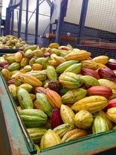 カカオ豆の収穫の写真・画像素材[3706966]