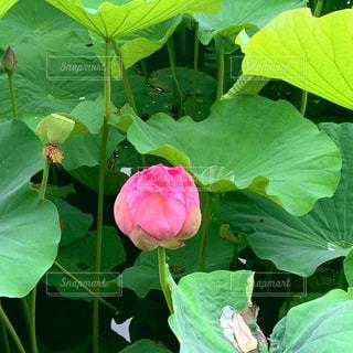 上野公園 不忍池の写真・画像素材[2262455]