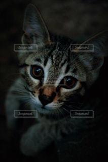 近くにカメラを見て猫のアップの写真・画像素材[736061]