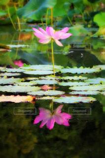 池の色とりどりの花のグループの写真・画像素材[736065]