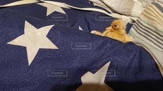 ベッドの上に座っている小鳥 かわいいアヒルの子 コールダックの写真・画像素材[2870608]