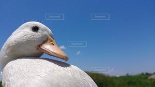 かわいいアヒルの子 コールダック草の中に立っている鳥の写真・画像素材[3262949]