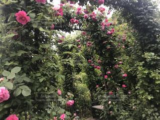 庭のピンクの花でいっぱいの花瓶の写真・画像素材[2267135]