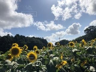 青い空と雲とひまわりの写真・画像素材[2334305]