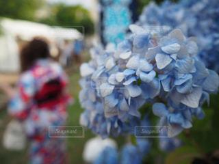 紫陽花の写真・画像素材[2269123]