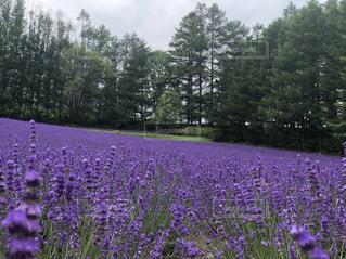 ラベンダー畑の写真・画像素材[2267901]