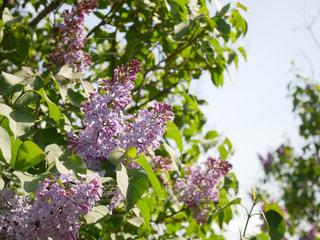 ハルダ・クラガー・ライラック・ガーデンズを背景にした花のクローズアップの写真・画像素材[2268700]