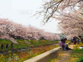 桜舞い散る川原の写真・画像素材[2268143]