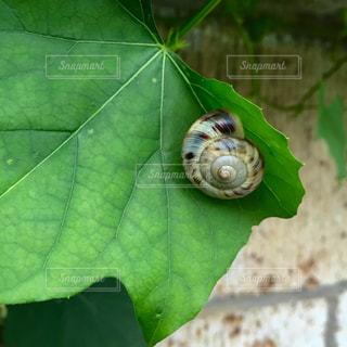緑の葉のカタツムリのクローズアップの写真・画像素材[2270065]