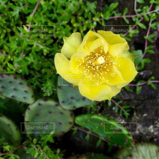 サボテンの花の写真・画像素材[2270071]