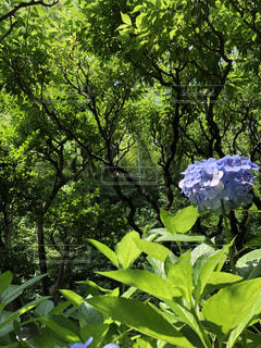 梅雨明けの紫陽花の写真・画像素材[2272016]