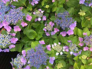 紫陽花の写真・画像素材[2281159]