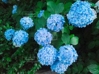 紫陽花の写真・画像素材[2288502]